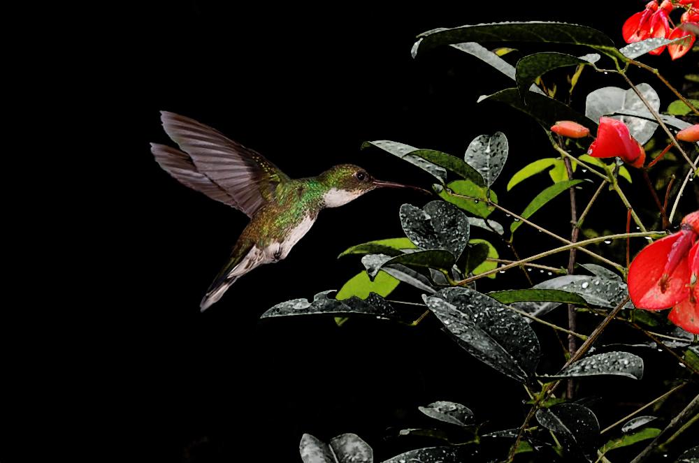 Kolibri mit Ceibo Blumen