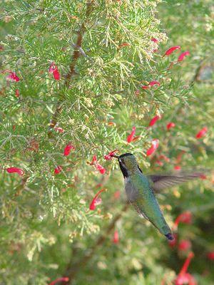 Kolibri mit Flügelschlag