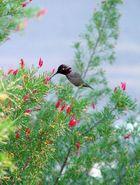 Kolibri ohne Flügelschlag?