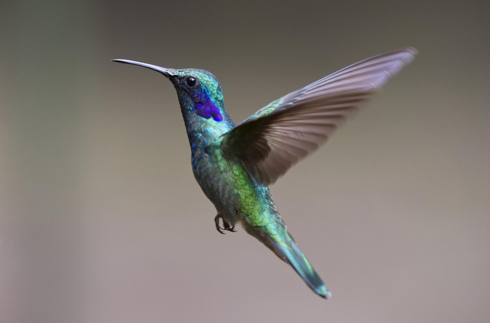 Kolibri (Purpurkehlnymphe)