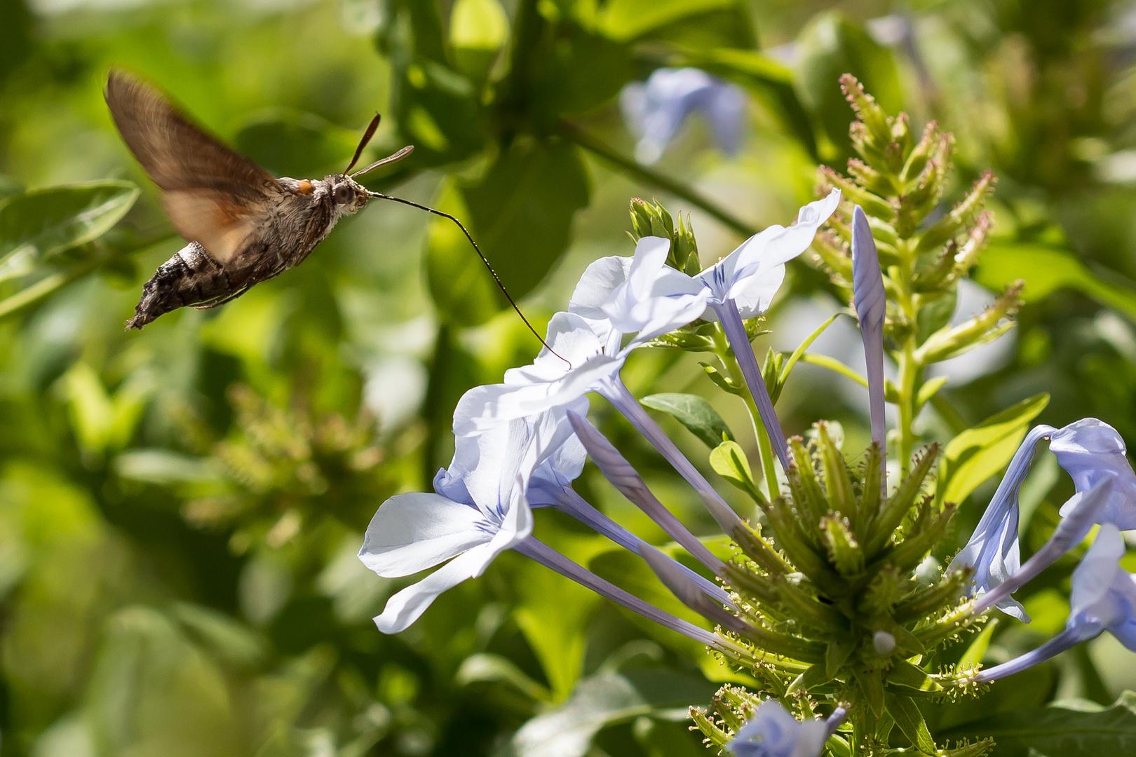 Kolibri Schwarmer beim Auftanken