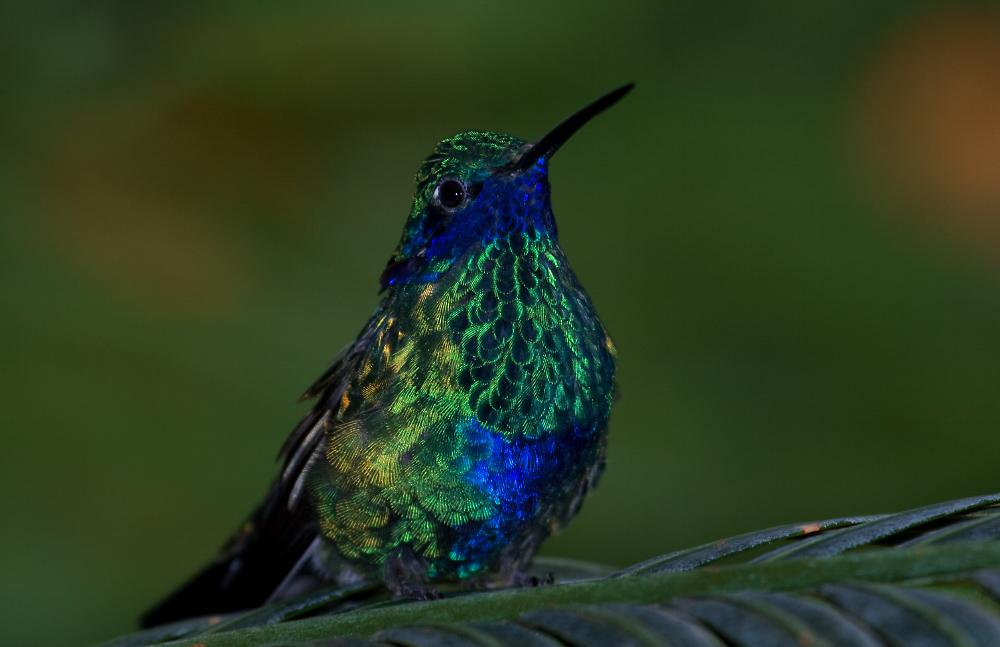 Kolibri sitzend