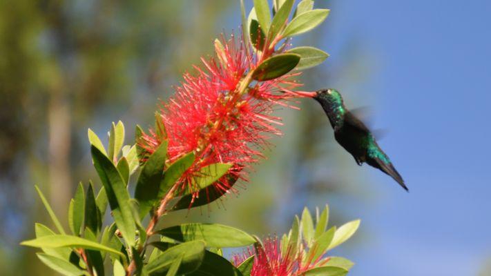 Kolibri12