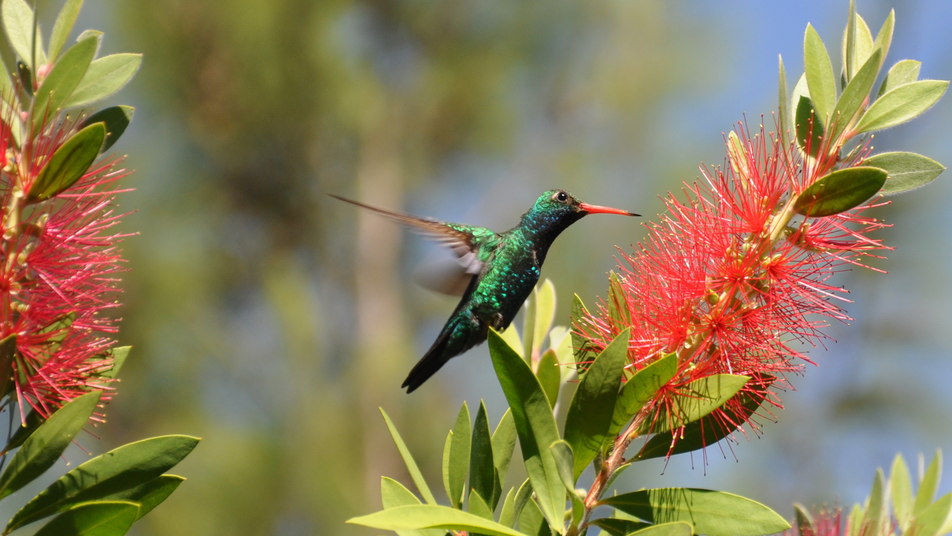 Kolibri29