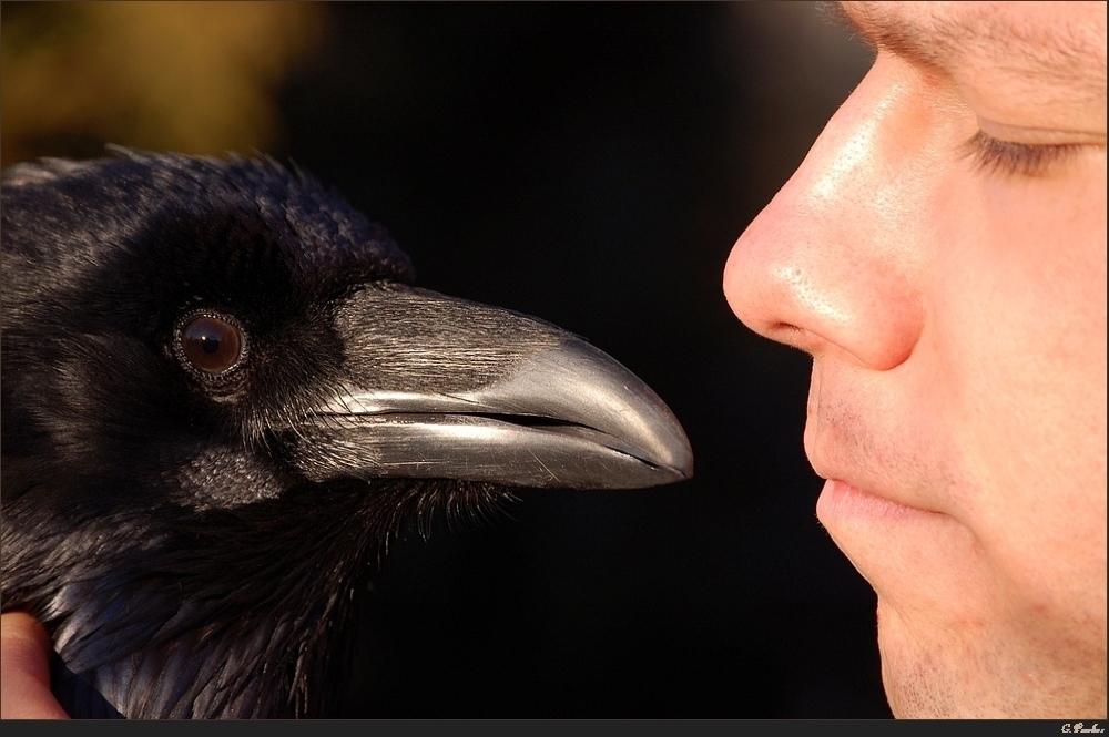 Kolkrabe (Corvus corax) 2008 (II)