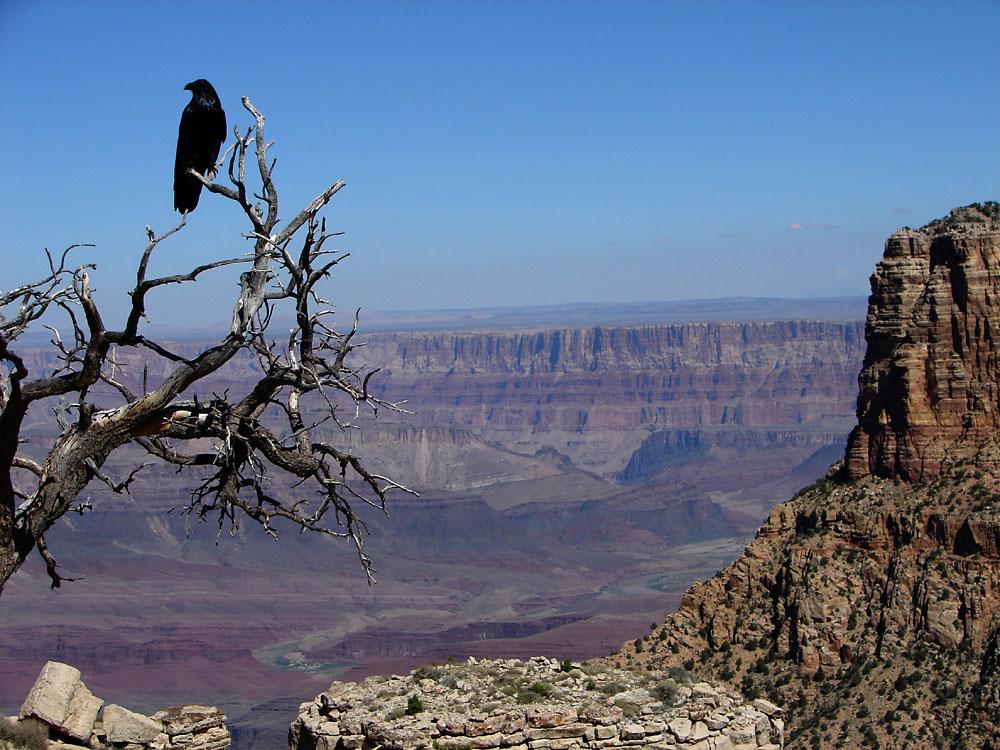 Kolkrabe vor der gewaltigen Schlucht des Grand Canyon.