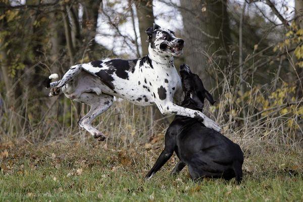 Kollisionsdoggen oder Doggenkollision, je nachdem...