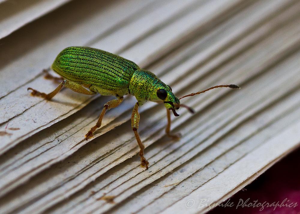 komischer Käfer