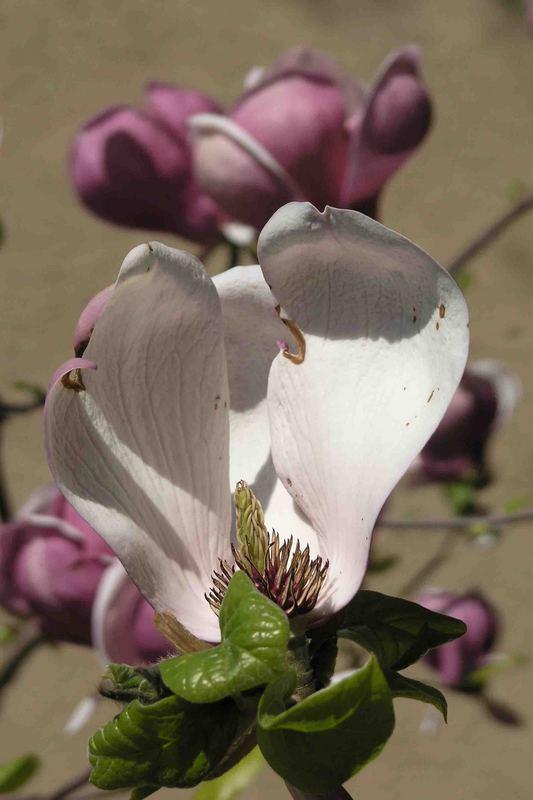 Kommen und Gehen bei Magnolienblüten