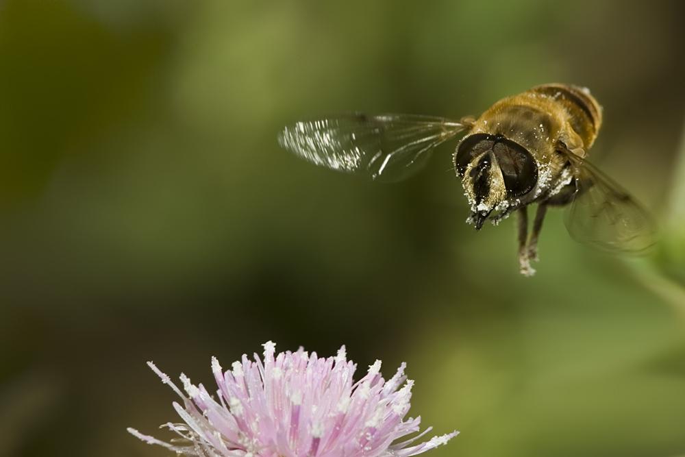 Kommt ein Bienchen geflogen