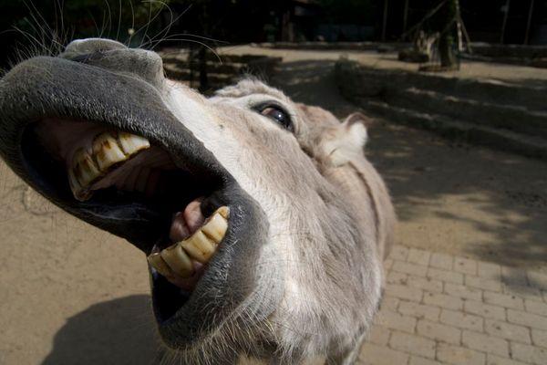 Kommt ein Esel zum Zahnarzt..
