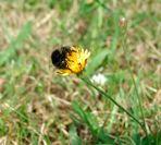 Kommt ne Biene geflogen.......