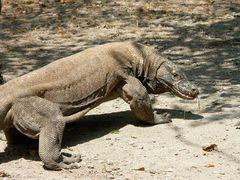 Komodo Drachen