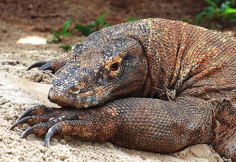 Komodo - The Last Dragon