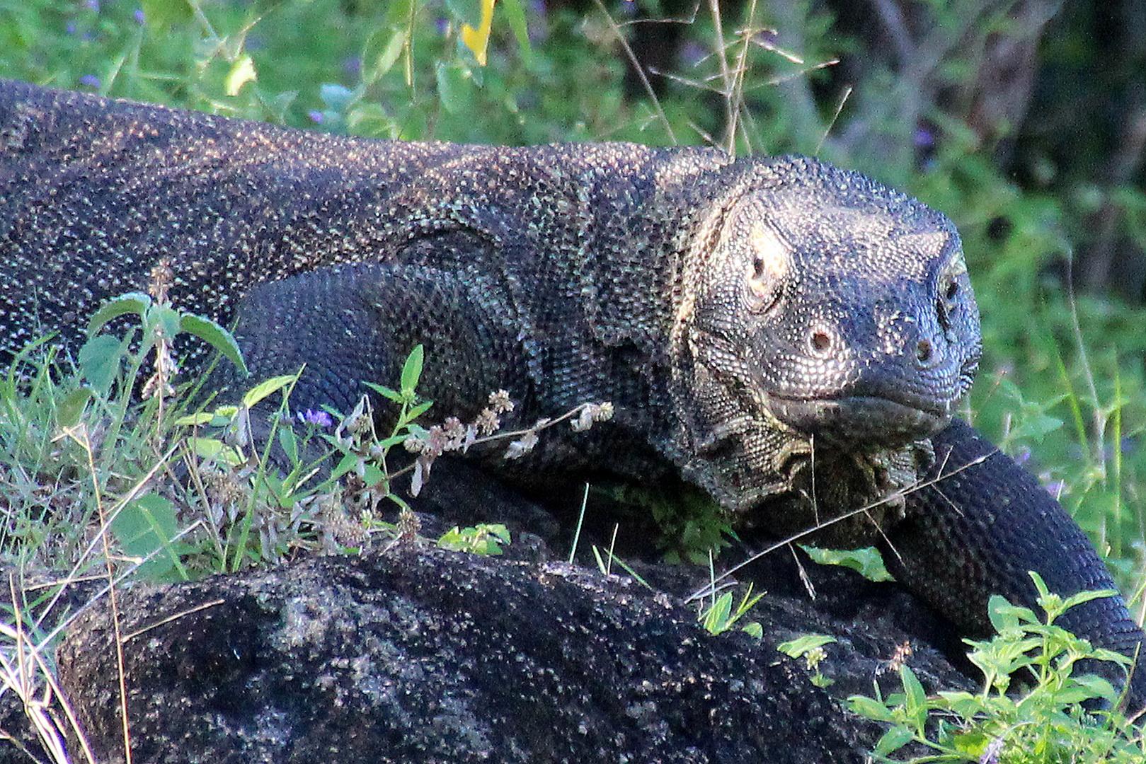 Komodo Waran. Schaut mich böse an...