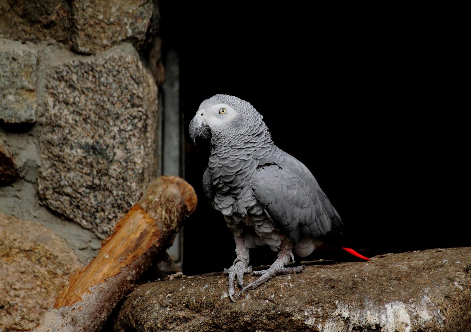 Kongo-Graupapagei (1)