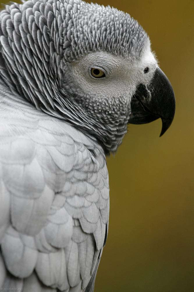 Kongo-Graupapagei