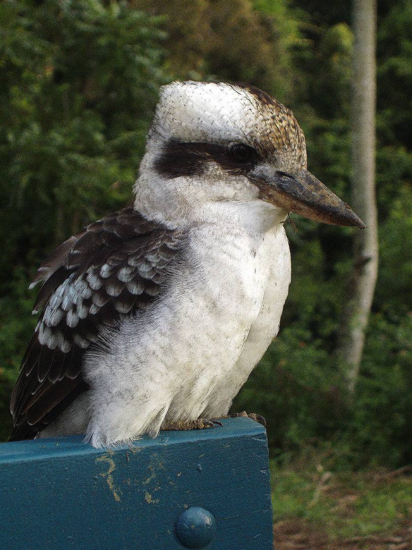 Kookaburra, lebt in Australien
