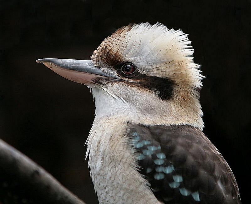 Kookaburra nachbereitet