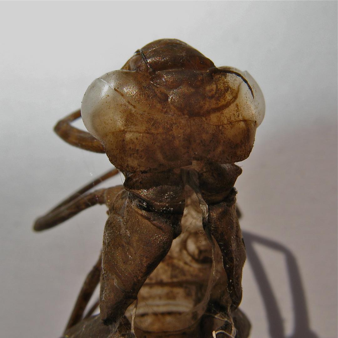 Kopf der Larvenhülle der Keilflecklibelle (Anaciaeshna isosceles)