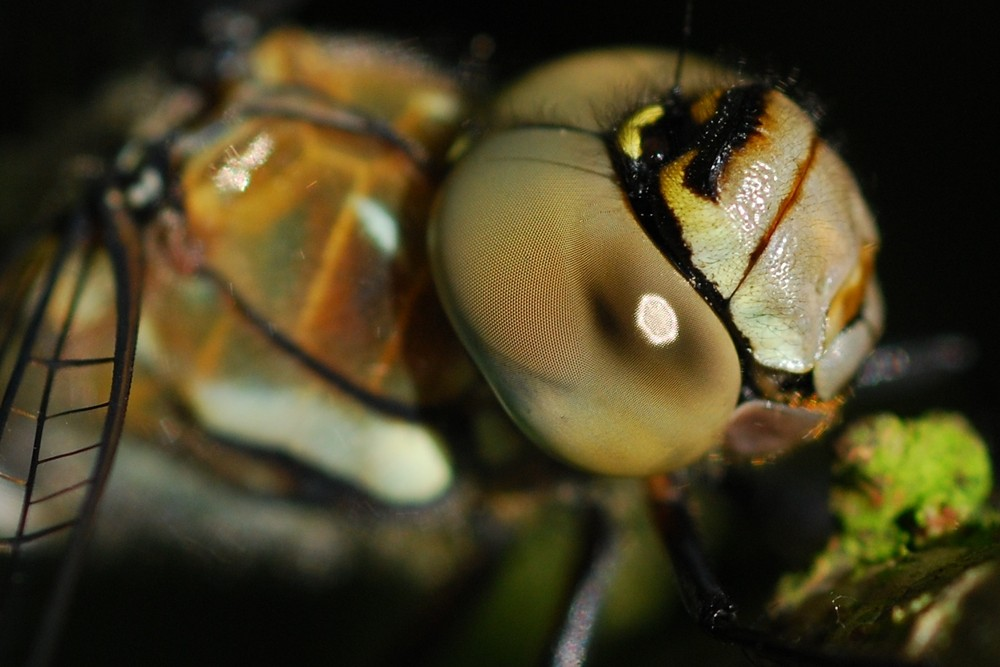 Kopf der Libelle