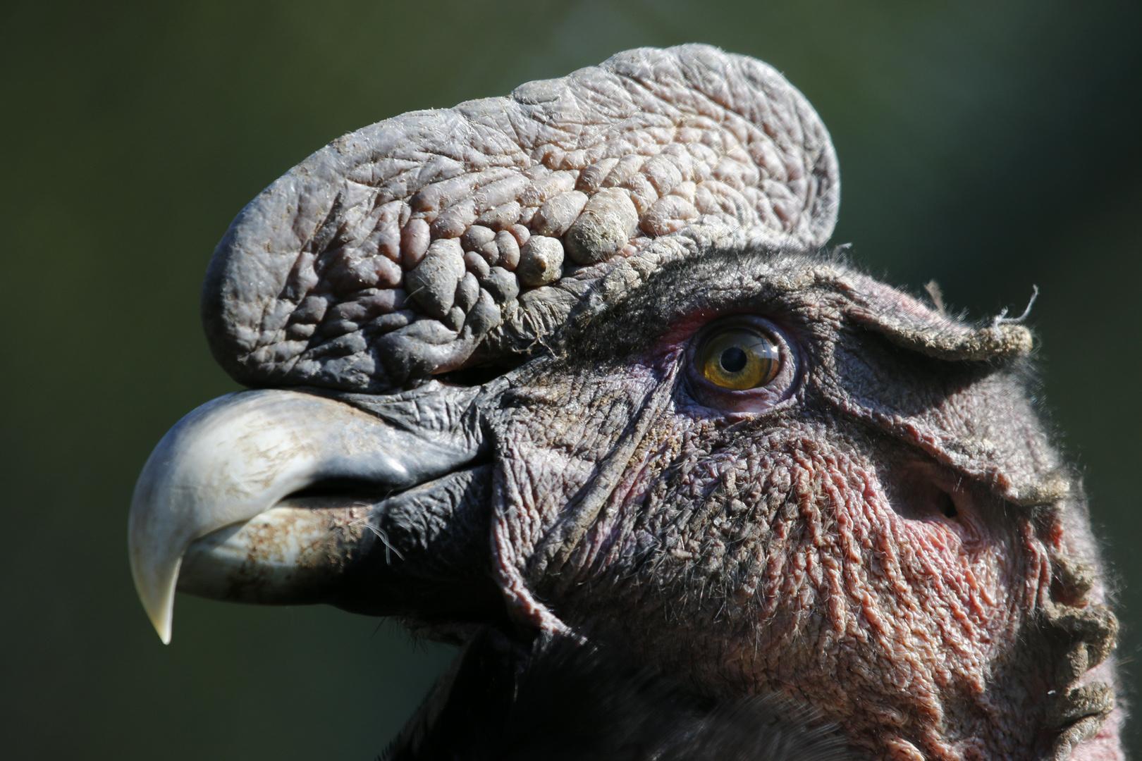 Kopf des Andenkondors