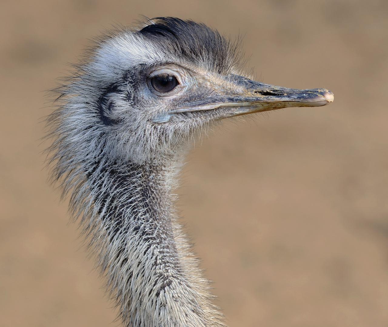 Kopf des Nandu (südarmerikanischer Laufvogel)