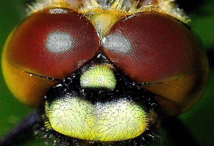Kopf einer Libelle