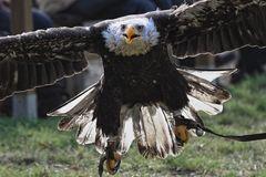 kopf einziehen- Adler im Anflug