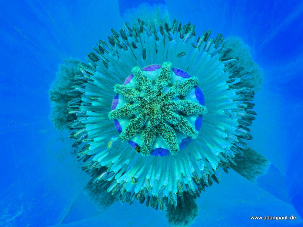 koralle?