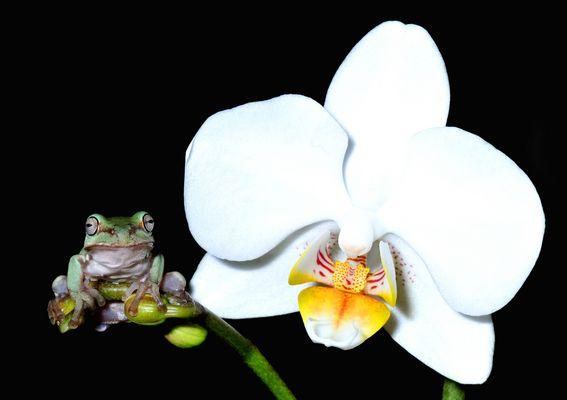 Korallenfinger-Laubfrosch und Orchidee