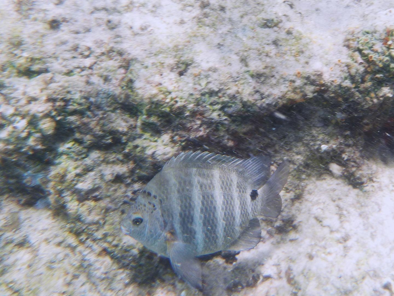 Korallenfisch an einem Riff bei dem Bazaruto Archipel