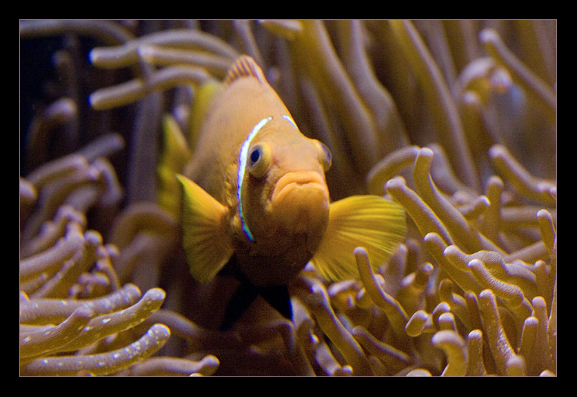 Korallenfisch ohne Weichzeichner