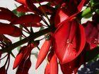 Korallenstrauch - unglaublich rote Blüte