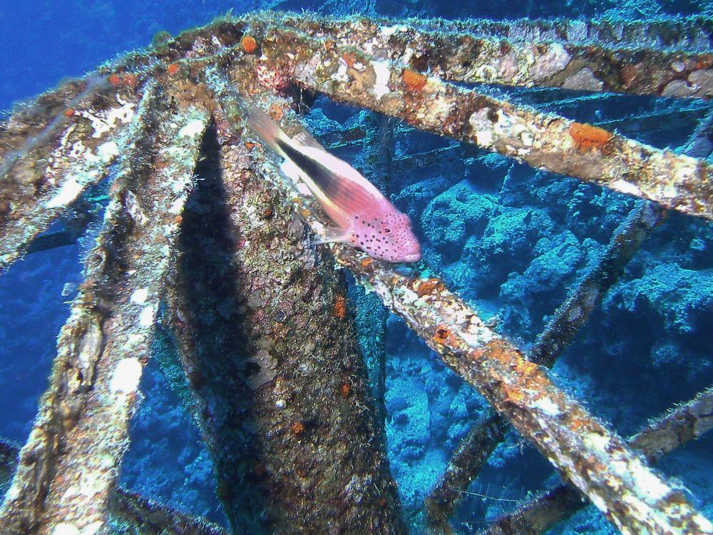 Korallenwächter (Büschelbarsch)