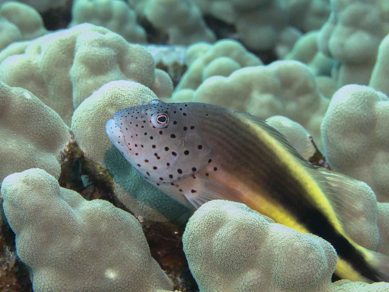 Korallenwächtermodel