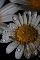 Korbblütler mit Wassertropfen