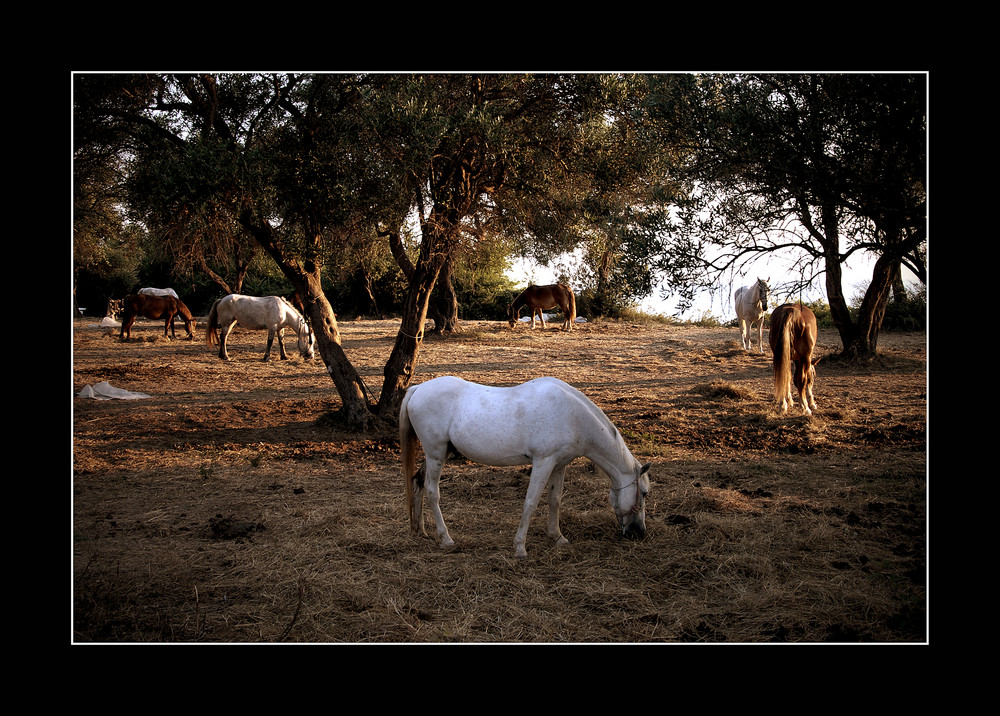 Korfu 7, Pferde am Meer bei Acharavi, Korfu 2006