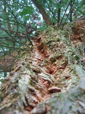 Korkenbaum