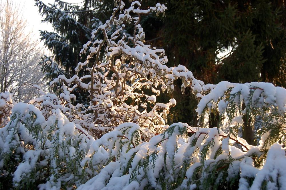 Korkenzieherbaum im Schnee