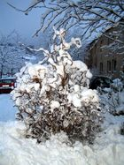 Korkenzieherhasel im Schnee