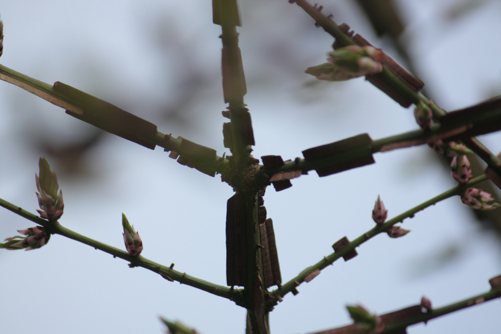 Korkleistenstrauch Euonymus alatus