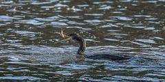Kormoran beim Fischen