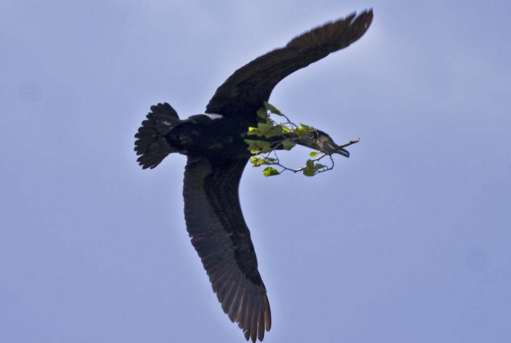 Kormoran beim Nestbau