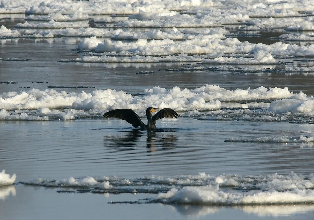 Kormoran im Eispool
