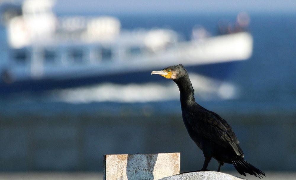 Kormoran im Hafen