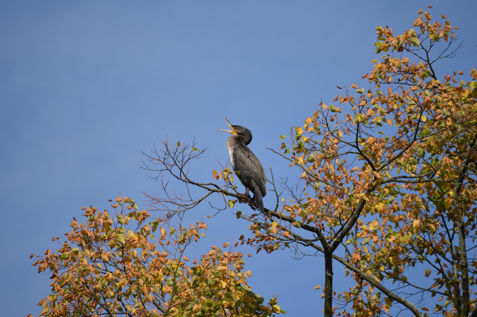 Kormoran im Herbstwald