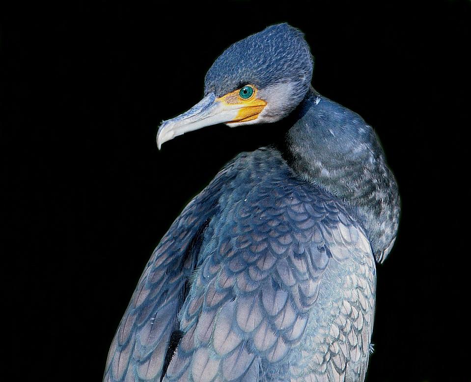 kormoran ohne schnabelüberstrahlung