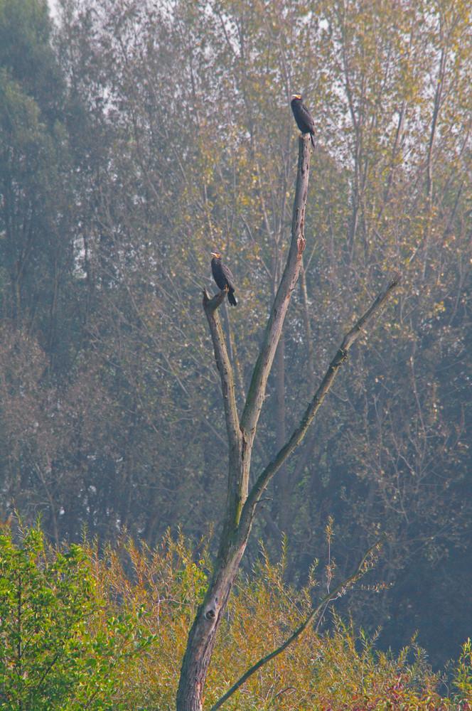 Kormorane auf einem toten Baum