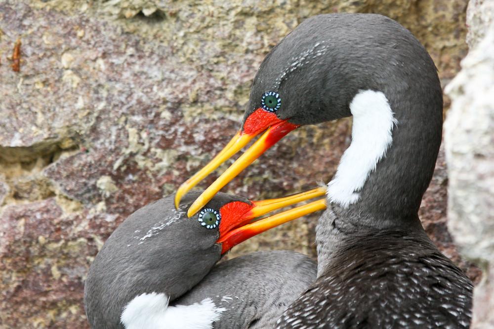 Kormoranpärchen an der Küste Patagoniens